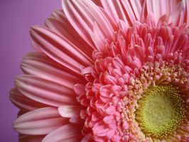 Pink Passion 3 by ceciliapham