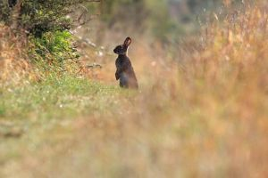 Field Rabbit by FrankWolfePhotograph