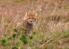 Cheetah Cub by CumbriaCam