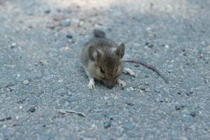 Mouse by wuestenbrand