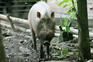 Bearded Pig by kontiki1