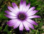 purple daisy 1 by stockofshutterbugmom
