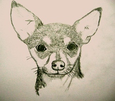 Chihuahua by KINLINK