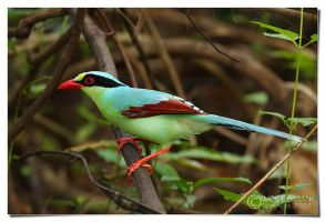 Green Magpie by Woodsman98