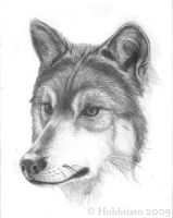 Mexican Wolf sketch by Hobbitato