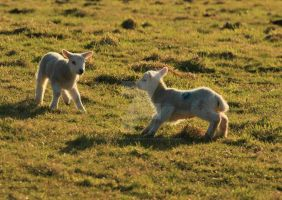 Lambs Playing by twilliamsphotography