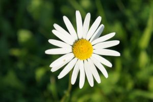 Oxeye daisy by perost