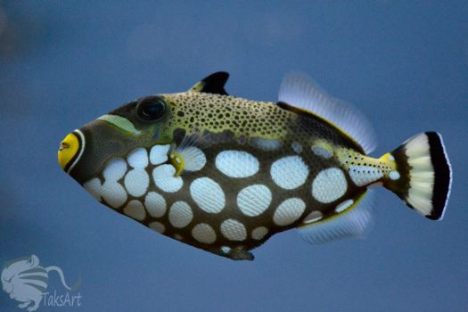 Triggerfish by TaksArtPhotos