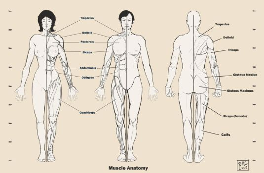 human anatomy on drawing-tutorials - deviantart, Muscles
