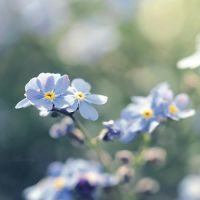 Forget Me Not VI by Milasery