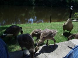 Baby Geese 2 by Sharulia