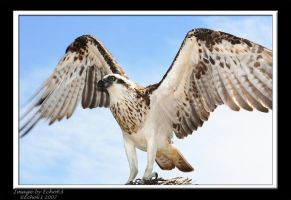 Osprey by echo63