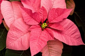 Pink Poinsettia by muffet1