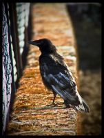 Corvus corone by Serephiminelysium