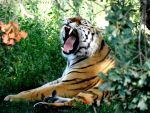 Tiger -Updated- by I-See-Shell