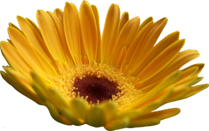 Yellow Gerber Daisy by Thy-Darkest-Hour