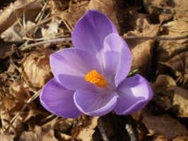 CROCUS I by zraclooc