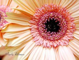Gerberas by Mark-Allison
