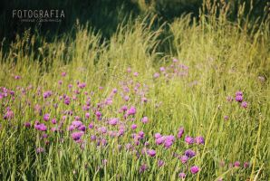 Purple flowers in the meadow by esecret