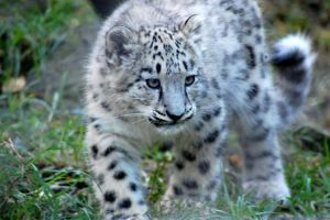 Snow leopard cub by DanielleMiner
