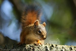 Red Squirrel by Sagittor
