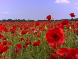 purple and Red Poppies by Jasmin-jewel