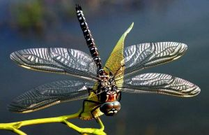 Dragonfly by MindStep