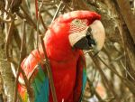 Red and Green Macaws 3. by lesp0ir