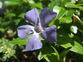 Periwinkle by knsmith0110