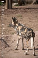 African Wild Dog 1 by J-Farrell
