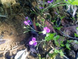 Indian Winter Tiny Flower 3 by SRUJAL