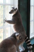 Lemur at the Window by Oddstuffs