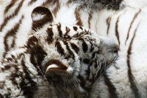 StereO - White Tiger by PASOV
