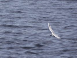another tern by Blue-eyed-Kelpie