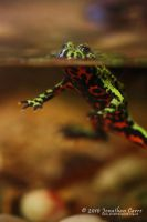 260210 Fire Belly Toad 2 by InsaneGelfling