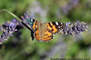 Butterfly and Lavender by BradleyPitt