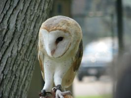 Barn owl 4 by CRStock