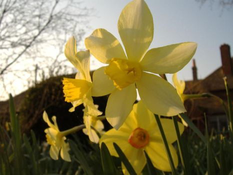 daffodil - one by ral-stock