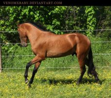 bay akhal-teke stallion 3 by venomxbaby