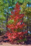Among Pines 11-11-14 by Tailgun2009