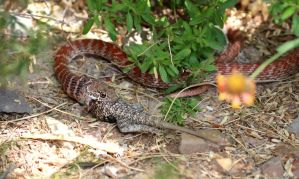 Red Racer Eats Spiny Lizard (3) by Monkeystyle3000