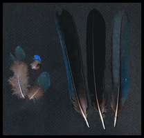 Asian fairy-bluebird feathers by TichodromaMuraria