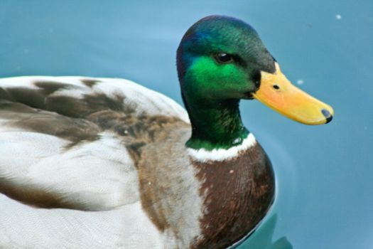 Mister duck close up by J710