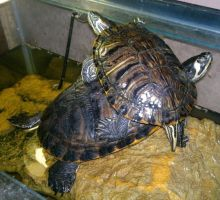 Charlie and Serena the Yellow Slider Turtles by YDdraigGogh