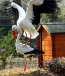 White Storks Playing Leapfrog :) by Cloudwhisperer67
