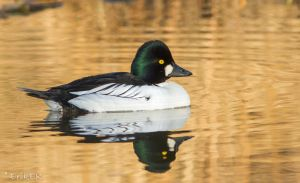 Common Goldeneye (male) by ErikEK