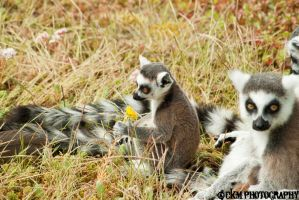 Ring-tailed Lemur by Chiss-CupCake