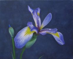 Iris Painting by I-Am-Coma-White
