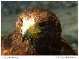 Black Kite II by In-the-picture