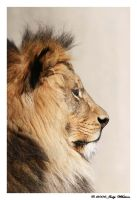 African Lion 6 by Tazzy-